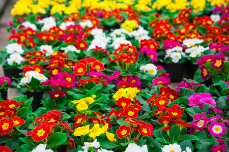 Rows of colorful primulas in a greenhouse. Agribusiness greenhouse seedling spring. Stok Fotoğraf