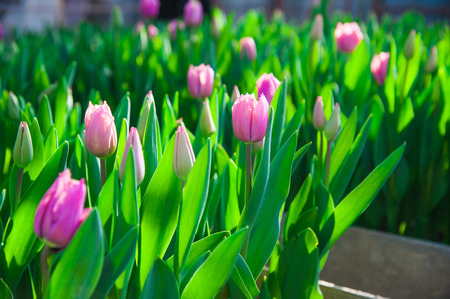 Spring scene of tulip field. Agribusiness greenhouse seedling spring. Stock Photo