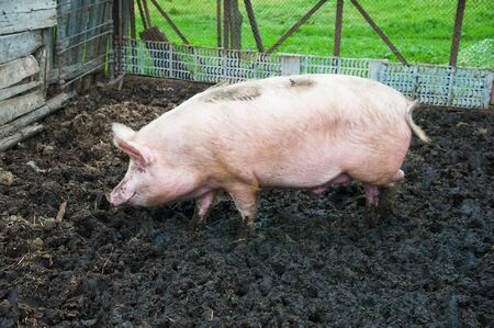 domestic: Domestic pigs. Pigs on a farm in the village