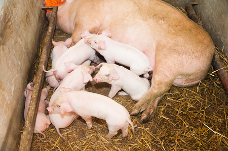 Fertile sow lying on straw and piglets suckling in barn