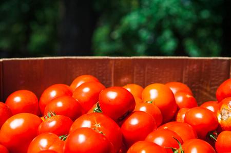Boxes full of clean natural fresh crop tomates Banco de Imagens