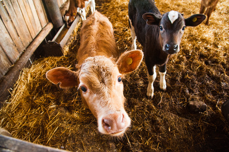 Cows in a farm. Dairy cows. Cowshed Standard-Bild
