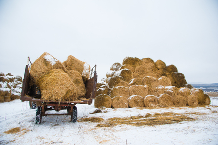 The hay storage shed full of bales hay on farm. Bales stacked in a pyramind