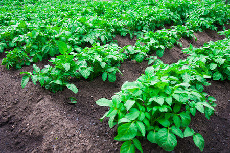 Potato plants in rows on potato field in summer
