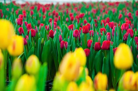 Spring scene of tulip field. Agribusiness greenhouse seedling spring. Stock Photo