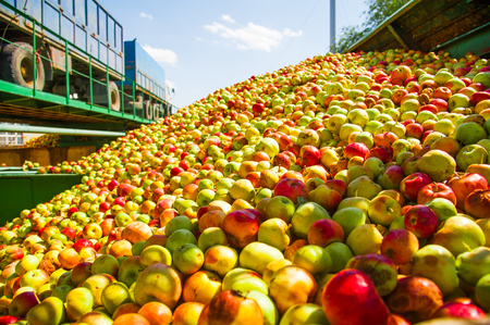 Ripe apples being processed and transported in an industrial production facility. Food industry. Textured background. Imagens