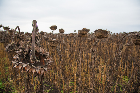 Vintage withered sunflowers in the autumn field
