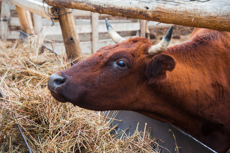 Cows in a farm. Dairy cows. Cowshed Stock Photo