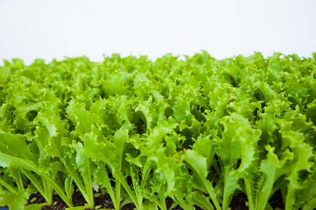 Small seedlings of lettuce growing in cultivation tray