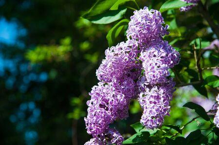 Blühender gemeinsamer Fliederbusch Syringa vulgaris. Frühlingslandschaft mit zarten Blumenstrauß.