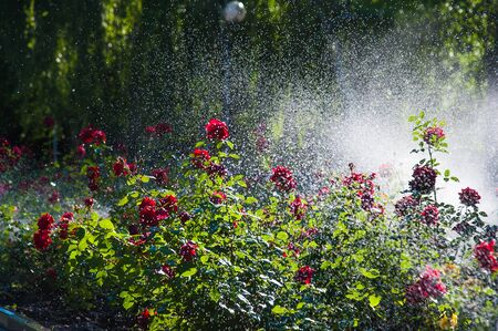 Watering lawn and rose flowers smart garden activated with full automatic sprinkler irrigation system working early in the morning in park