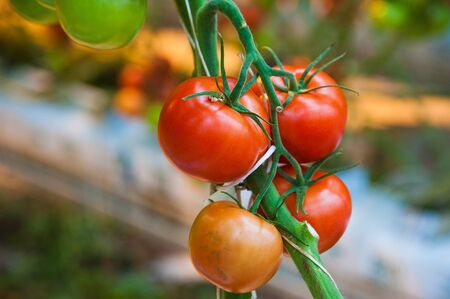 Ripe tomato plant growing in greenhouse. Tasty red heirloom tomatoes Stok Fotoğraf