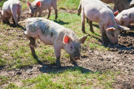 Pig farm. Pigs in field. Pig running on a green meadow