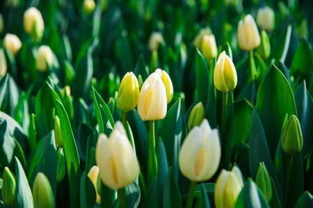 Spring scene of tulip field. Agribusiness greenhouse seedling spring. Banque d'images - 127612446