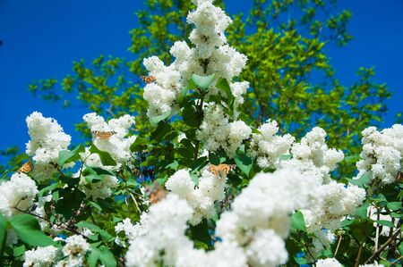 Blossoming common Syringa vulgaris lilacs bush. Springtime landscape with bunch of tender flowers.