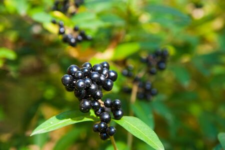 Black chokeberry close-up in the garden. Sunny autumn day in the city park