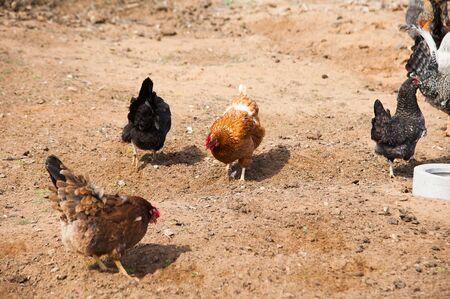Free range chickens roam the yard on a small farm