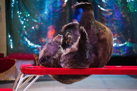 Circus performance. Circus bear performs in the circus. Standard-Bild