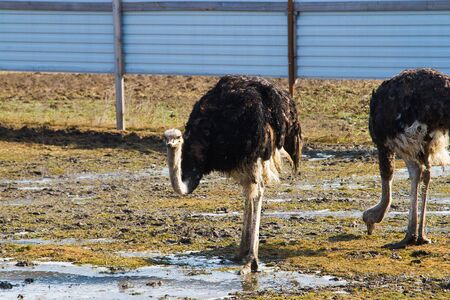 Ostrich farm. Two ostrich on a farm in the spring sunny day