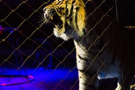 Circus. Tiger performs tricks in the circus arena Stockfoto