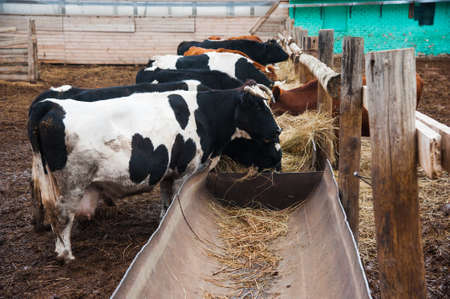 Cows in a farm. Dairy cows. Cowshed 写真素材