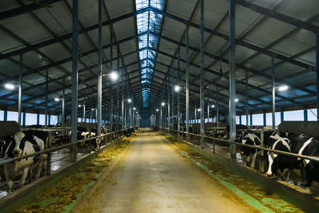 Cows on the farm in winter. Dairy cows. Cowshed