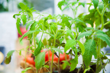 Growing plants in the absence of sunlight, using ultraviolet light