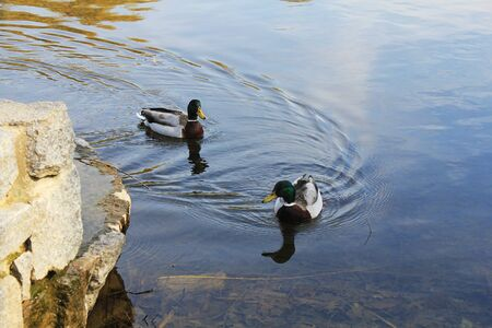 drakes: Two ducks swim in the pond.