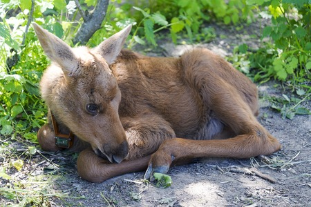 A small calf lying in the grass in the reserve. City of Kostroma June 11, 2018. Stockfoto