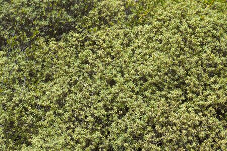 A solid background of green bushes. Fresh plants on the wall. Stock Photo