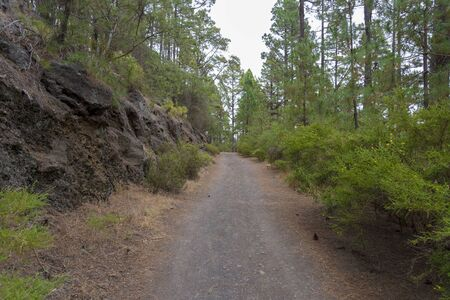 Dense forest on the island of Tenerife. The concept of tourism and travel in the forest on the island of Tenerife. 스톡 콘텐츠