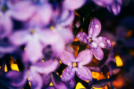 lilac flowers on a dark background  at sunset close-up in drops of dew