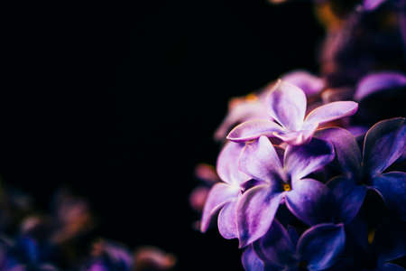 lilac flowers: lilac flowers on  a dark background close-up
