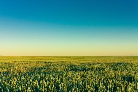 cropcircle: A barley field with shining green barley ears in early summer