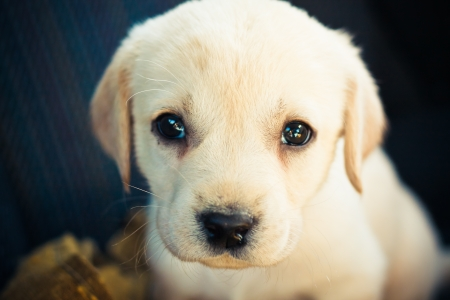 Golden retriever puppy of 7 weeks old Stock Photo - 11297315