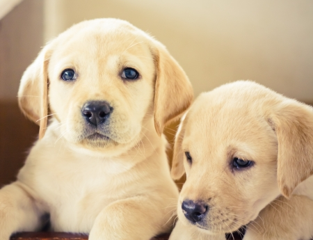 Golden retriever puppy of 7 weeks old Stock Photo - 11297314