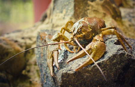 The crawfish on a stone near the river. Stock Photo