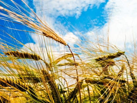 Een gerst veld met glanzende gouden gerst oren in de late zomer Stockfoto