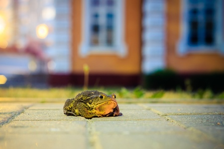 bufo bufo: A close up of the toad in night