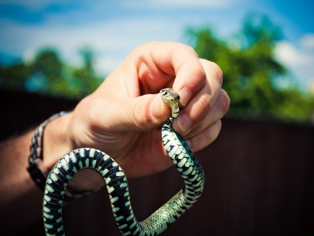 Handling of a grass snake (Natrix natrix) being demonstrated Stock Photo