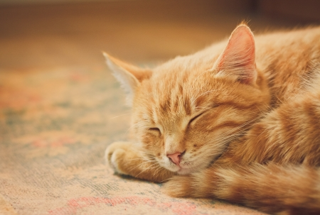 peaceful orange tabby male kitten curled up sleeping