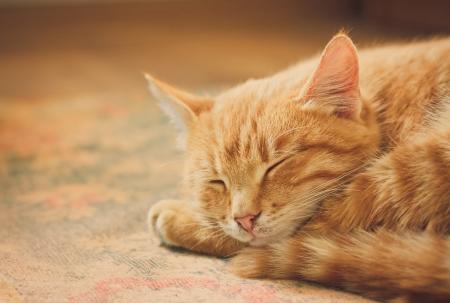 vreedzame oranje tabby katertje opgekruld slapen