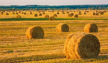 Perfect harvest landscape with straw bales photo