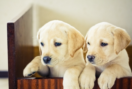 Golden retriever puppy of 7 weeks old Stock Photo - 15735279