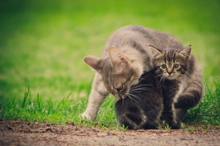 Mum a cat licks the kitten on green grass background