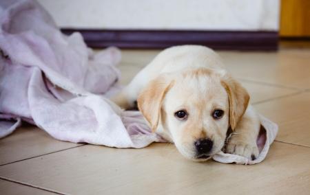 Filhote de cachorro dourado Retriever de 7 semanas de idade