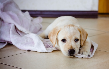 Golden Retriever Puppy Of 7 Weeks Old Stock Photo