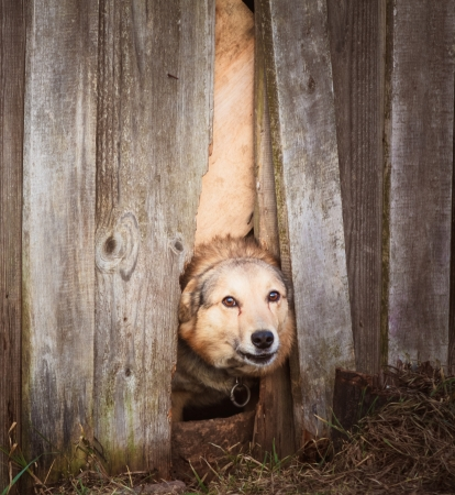 Dog peeking through old wood fence photo