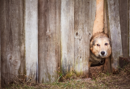 Dog peeking through old wood fence Stock Photo - 16920631