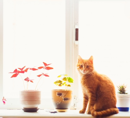 Res domestic cat sitting on a white window sill